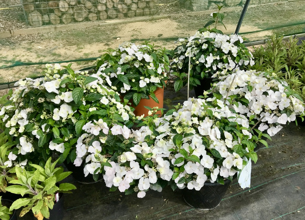 Beautiful white hydrangea plants clustered together in the shade tunnel, ready for Sparsholt's garden at RHS Chelsea Flower Show 2019